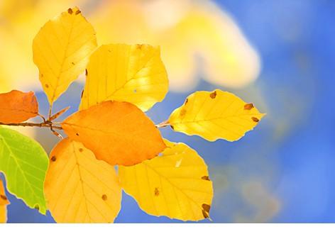 feuilles_hêtre.jpg