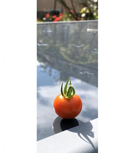 Tomate_jardin.jpg